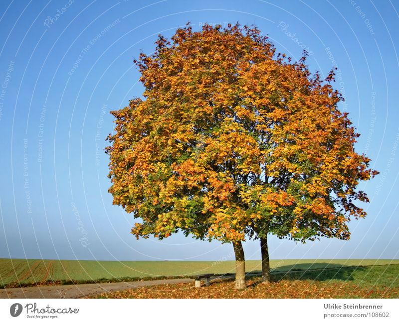 Single pair of trees in autumn foliage Sky Autumn flaked Meadow Field To fall Stand Esthetic already Warmth Blue Multicoloured Calm Colour Transience