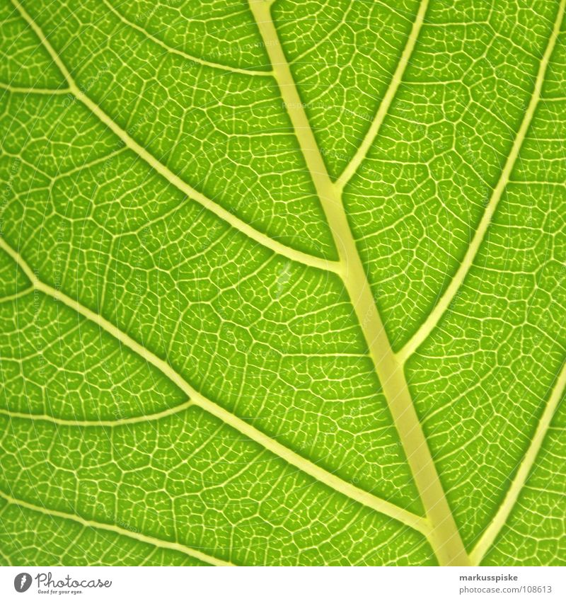 leaf green Leaf Plant Sunbeam Leaf green Photosynthesis Process Ecological Environment Material Energy industry Dye Shadow sun sunray sun-ray light energy