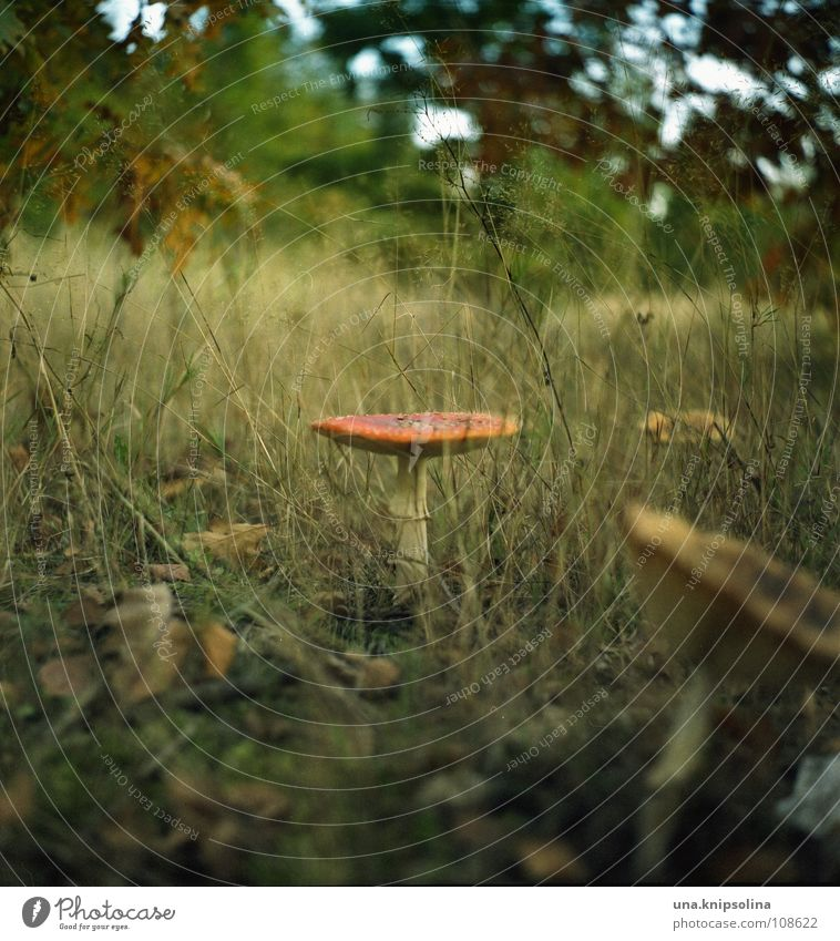 Forest Meadow Autumn Grass Stand Point Umbrella Autumn leaves Mushroom Fairy tale Enchanted forest Amanita mushroom Automn wood Baseball cap Enchanted wood