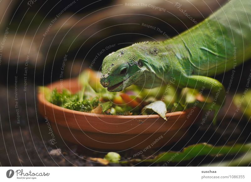 vegan lunch Animal Animal face Scales Claw 1 Exotic Small Delicious Green Love of animals To feed Feeding Vegetable Reptiles Saurians reptilium Colour photo