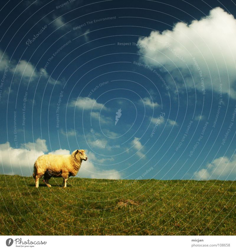 unnu? Sheep Animal Livestock Wool Ball of wool Farm Yellow Green Meadow Clouds Individual Loneliness Horizon Dike Grass Baaa Clothing Yellowness Farm animal