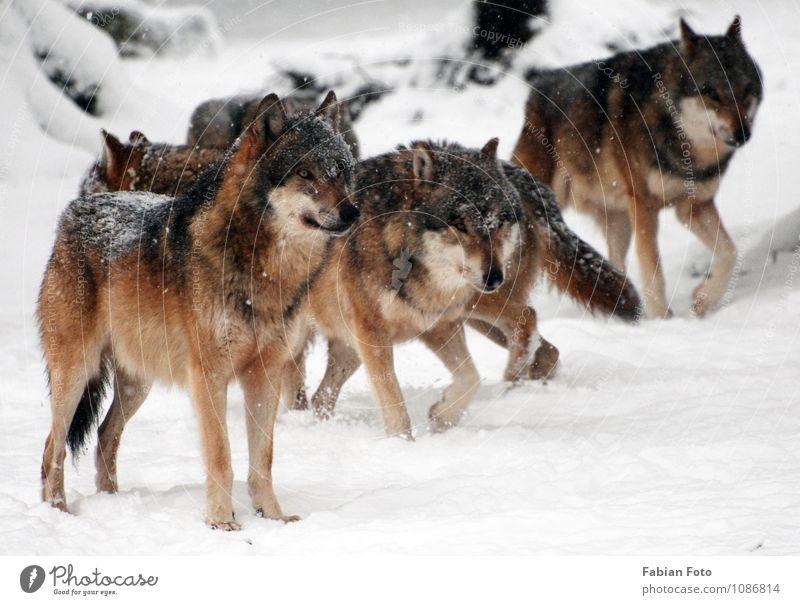 wolves Winter Snow Animal Zoo Pack Observe Hunting Stand Esthetic Threat Colour photo Exterior shot