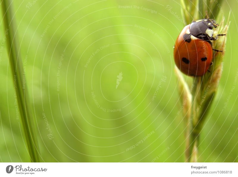Bug on tour Environment Nature Spring Summer Grass Animal Beetle 1 Happy Ladybird Colour photo Exterior shot Copy Space left Day Shallow depth of field