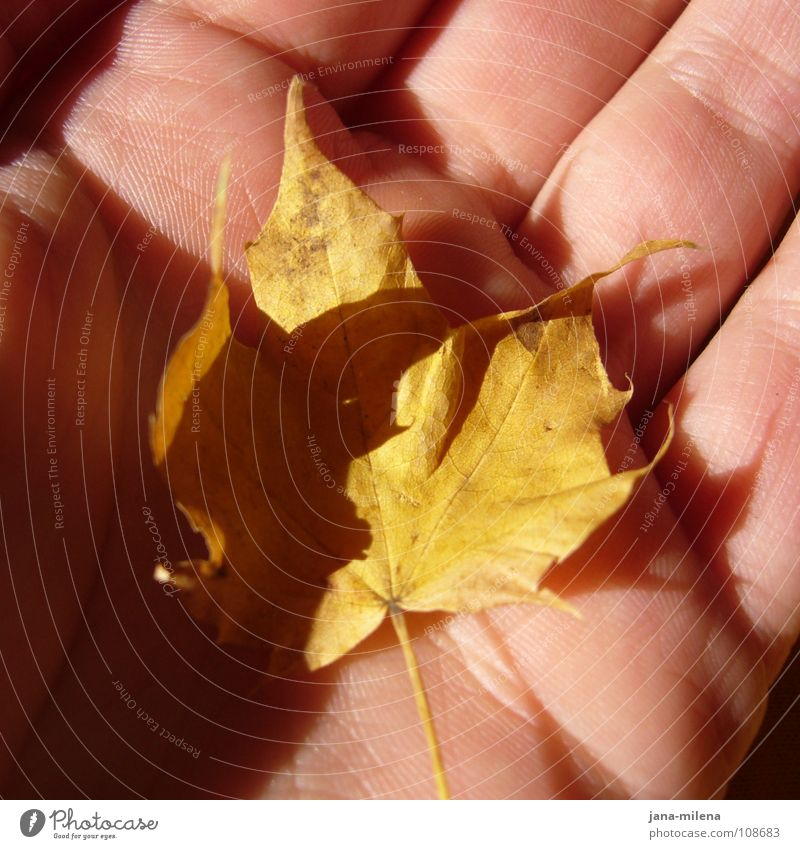 Hand Tree Leaf Yellow Autumn Small Peace Maple tree Treasure Shaft of light Autumnal Autumnal colours