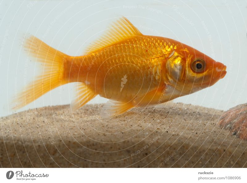 goldfish, carassius gibelio, freshwater fish Nature Animal Water Free Red White Goldfish Carassius auratus of Fish Ornamental fish home waters Carp scallop carp