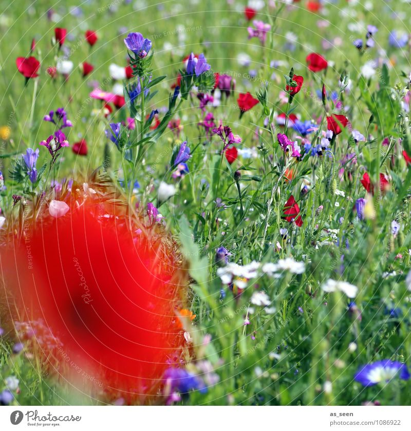 summer meadow Design Harmonious Vacation & Travel Agriculture Forestry Nature Summer Plant Flower Grass Blossom Poppy Poppy blossom Cornflower Meadow Blossoming
