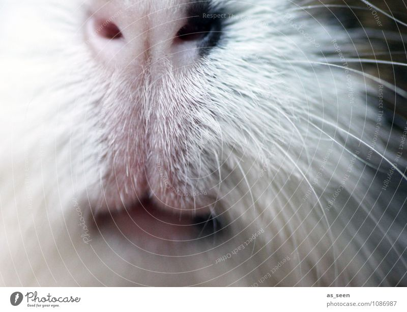 snute Animal Pet Animal face Pelt Zoo Petting zoo Guinea pig Rodent Snout Whisker Lips 1 To feed Cute Positive Soft Brown White Emotions Love of animals