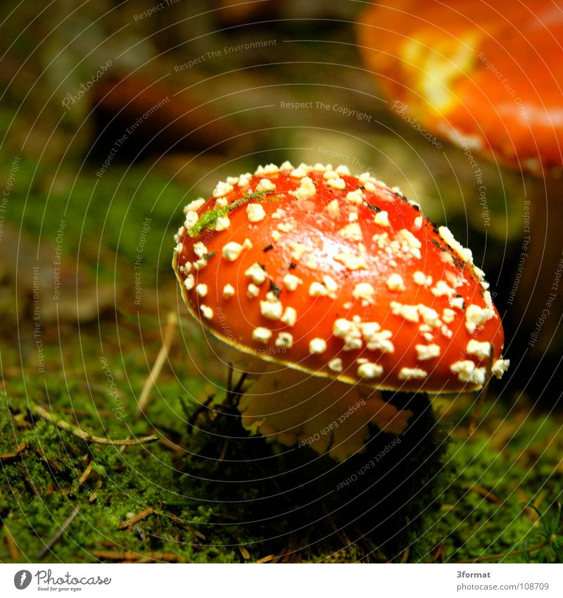 fly mushroom01 Amanita mushroom Cap Baseball cap Coniferous forest Mixed forest Undergrowth Woodground Grass Enchanted forest Fairy tale Fantastic Dream
