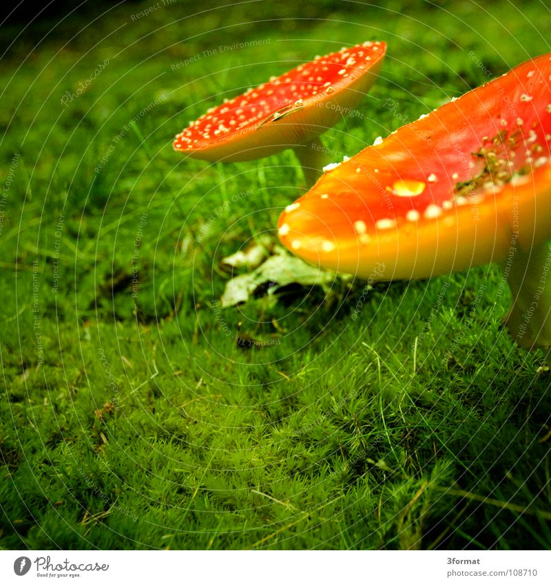 fly agaric02 Amanita mushroom Cap Baseball cap Coniferous forest Mixed forest Undergrowth Woodground Grass Enchanted forest Fairy tale Fantastic Dream Gorgeous