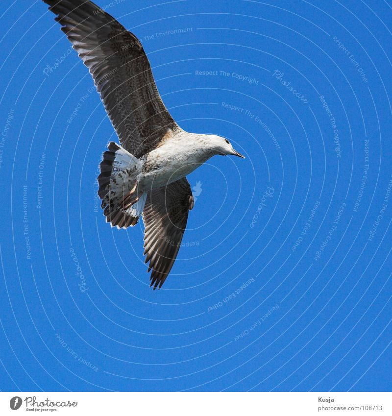 Blue White Brown Bird Flying Walking Wing Driving Feather Hunting Sailing Seagull Hover Curve Blow Tails