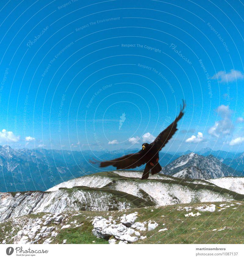 Flight acrobats 3 Environment Nature Landscape Summer Grass Mountain Animal Bird 1 Authentic Infinity Tall Blue Calm Freedom Colour photo Exterior shot