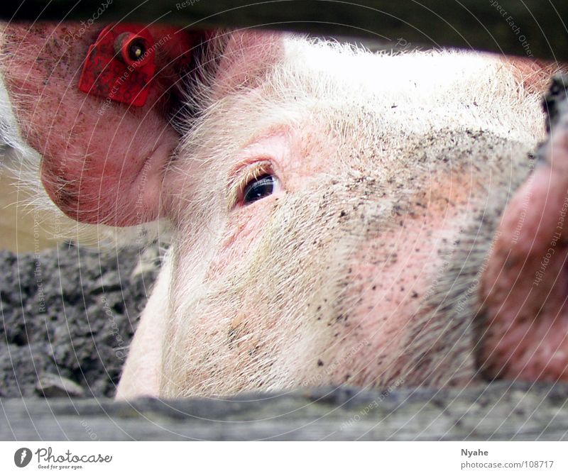 dirty look Pig's snout Grunt Sow Piglet Trunk Mud Pink Animal Swine Mammal Dirty