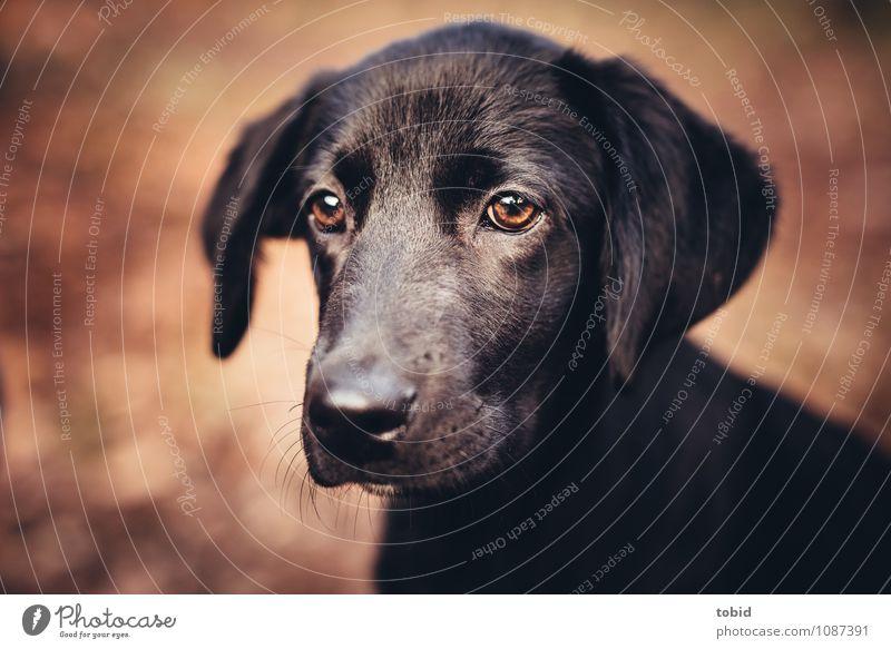 Amy Pt.5 Pet Dog Animal face Pelt 1 Observe Glittering Cuddly Soft Brown Black Labrador Ear Snout Colour photo Exterior shot Close-up Deserted