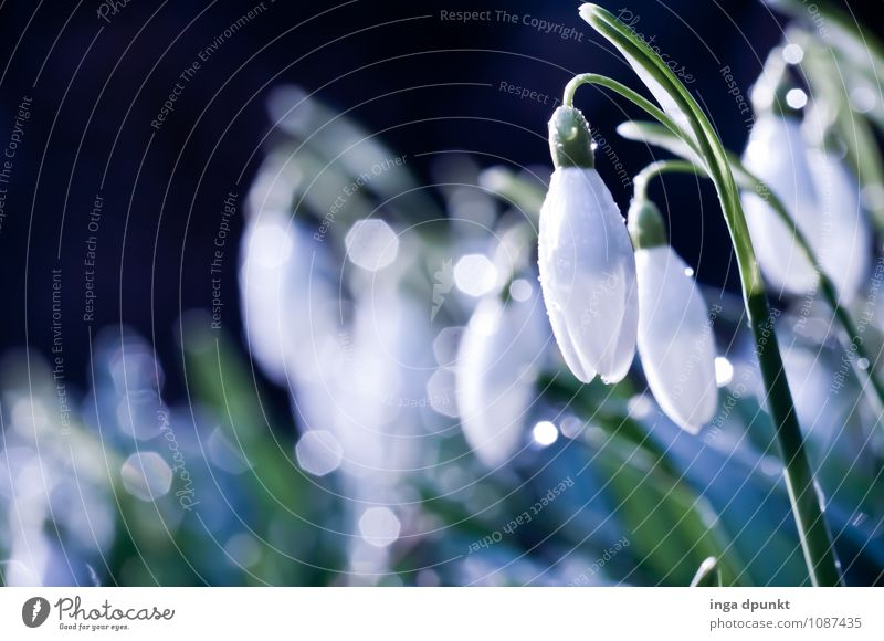 Snowdrop white skirt Environment Nature Landscape Plant Elements Water Drops of water Spring Winter Beautiful weather Flower Blossom Wild plant Lily Dew Garden
