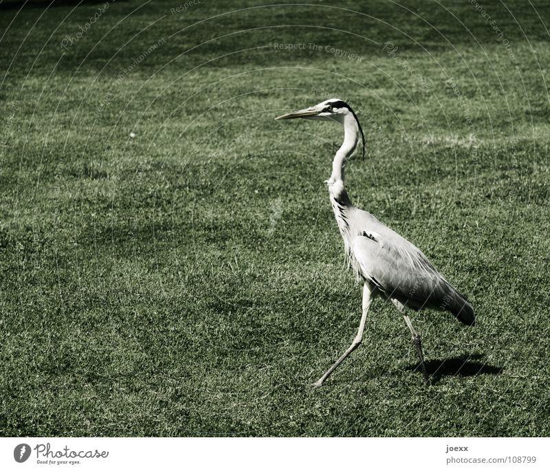Meadow Garden Park Bird Going Arrangement Might Lawn Feather Pride Vertical Arrogant Self-confident Conceited Animal Heron