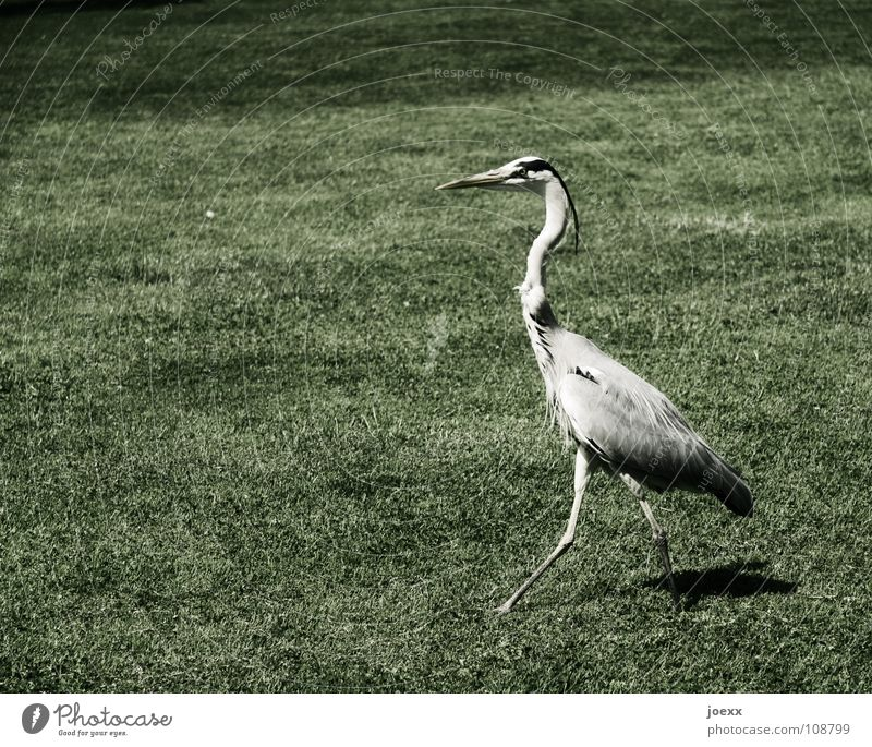 Pride and Prejudice Grey heron Arrogant Vertical Conceited Going Lawn Heron Self-confident Swagger Bird Meadow Might Garden Park Feather Arrangement