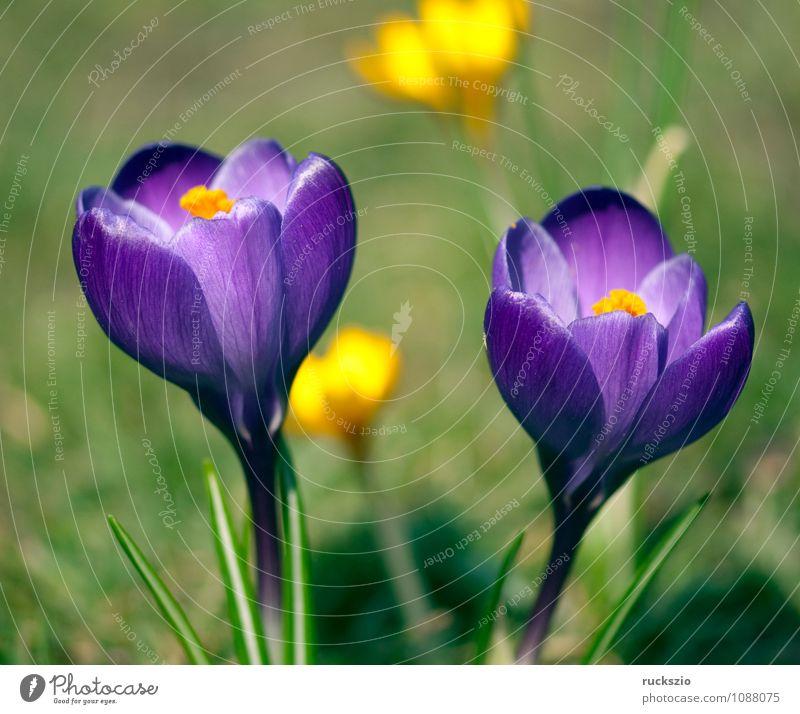Garden crocus; crocus; crocus; vernus; Nature Plant Spring Flower Fragrance Crocus Spring flower Spring flowering plant spring flowers Bulb flowers