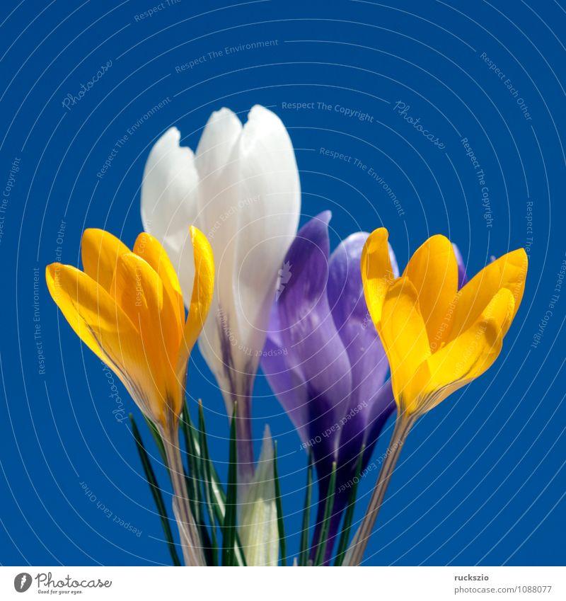 Garden crocus, crocus, crocus, vernus, Nature Plant Spring Flower Blossom Jump Free Black White Crocus Spring flower Spring flowering plant spring flowers