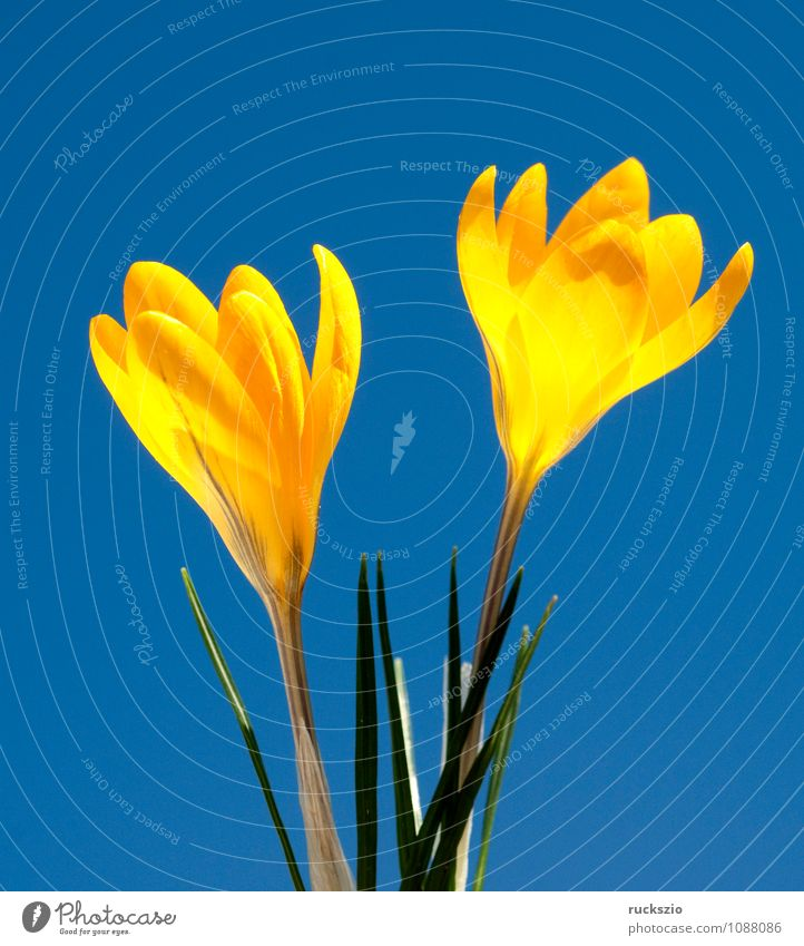 Gold brocade crocus, crocus, angustifolius, Nature Spring Flower Jump Free Blue Yellow type of crocus Spring flower Spring flowering plant spring flowers