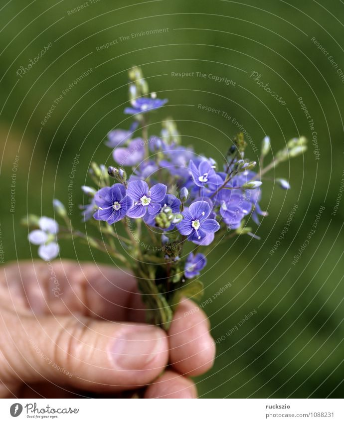Little bouquet, Gamander Speedwell, Hand Nature Flower Blossom Bouquet Small Blue Bird's eye Veronica gamander chamaedrys honorary prize Ostrich