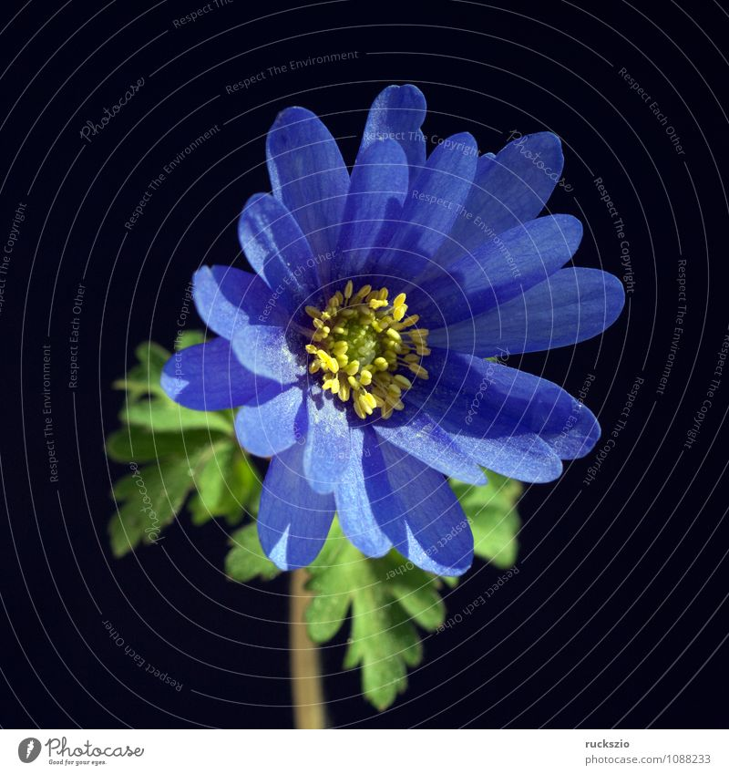 Radiation anemone; anemone; blanda; Plant Flower Blossom Wild plant Free Blue Black radiation anemone Bulb Onion Anemone Meadow flower local wild flora whitebox