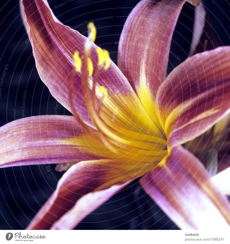 Day lilies, hemerocallis, day lilies, Nature Flower Blossom Free Red Black Daylily Lily red blossoms Summerflower garden flower garden flowers Ornamental plant