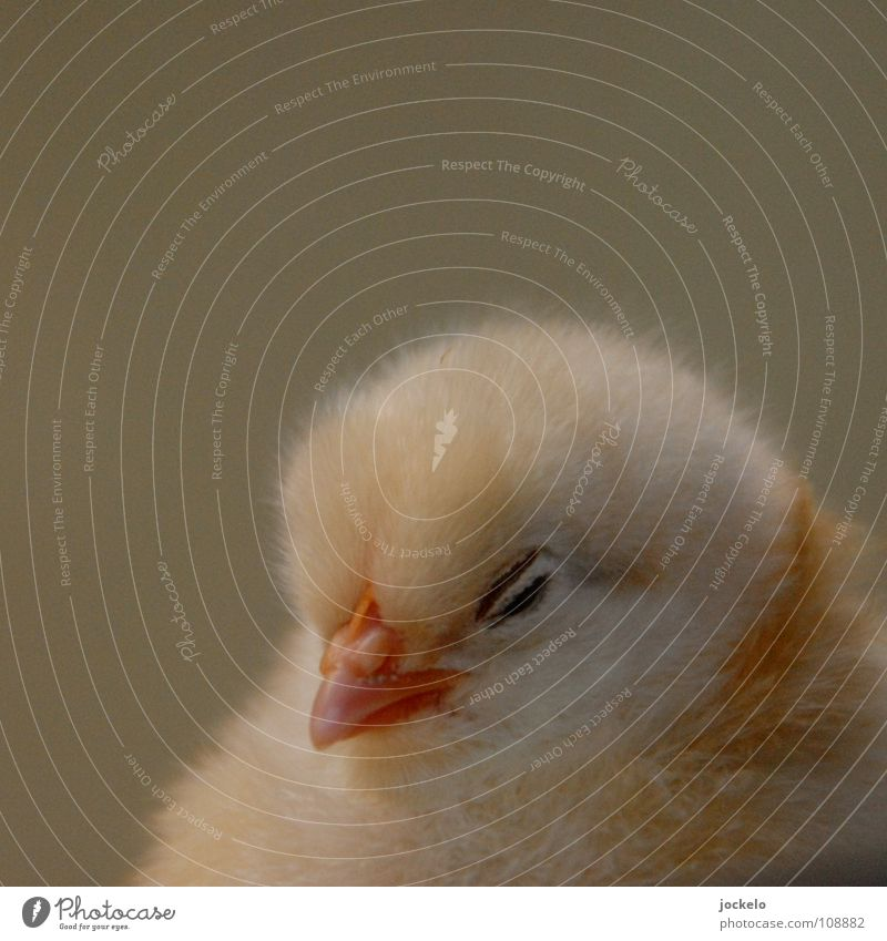 Animal Small Bird Feather Farm Zoo Egg Barn fowl Birth Barn Nest Offspring Chick Escalope Hen