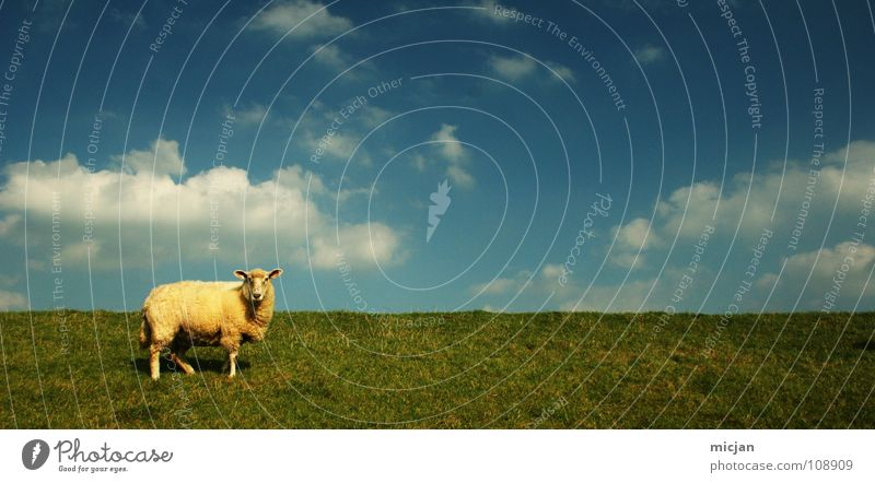 Moo! Sheep Animal Livestock Wool Ball of wool Farm Sweater Yellow Green Meadow Field Clouds Individual Loneliness Horizon Dike Grass Baaa