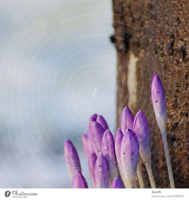 More spring .... Sunlight Spring Climate Beautiful weather Plant Tree Flower Blossom Bud Crocus Tree trunk Tree bark Pine Garden Park Blossoming Growth Dirty