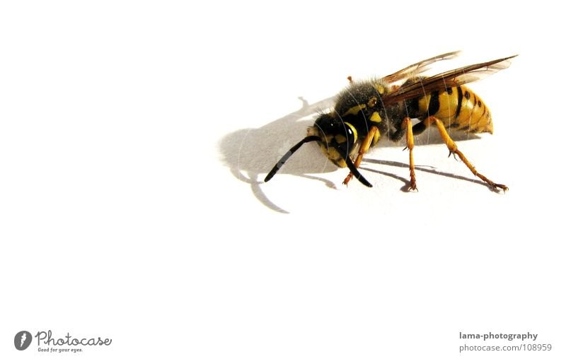 Fierce Wasps Bee Bumble bee Insect Compound eye Feeler Attack Aggressive Dangerous Fight Animal Yellow Striped Pierce Wasps' nest Poison Fatigue Exhaustion