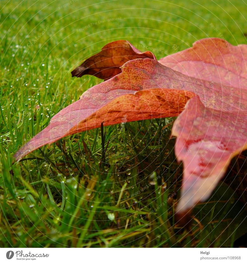 red-green... Autumn Leaf Vine leaf Red Multicoloured Meadow Grass Blade of grass Vertical Stand Morning Dew Wet Vessel Green Brown Yellow