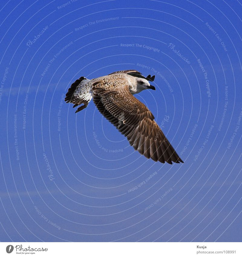 Sky Blue White Brown Bird Flying Walking Aviation Wing Search Feather Hunting Sailing Bird of prey Seagull Hover