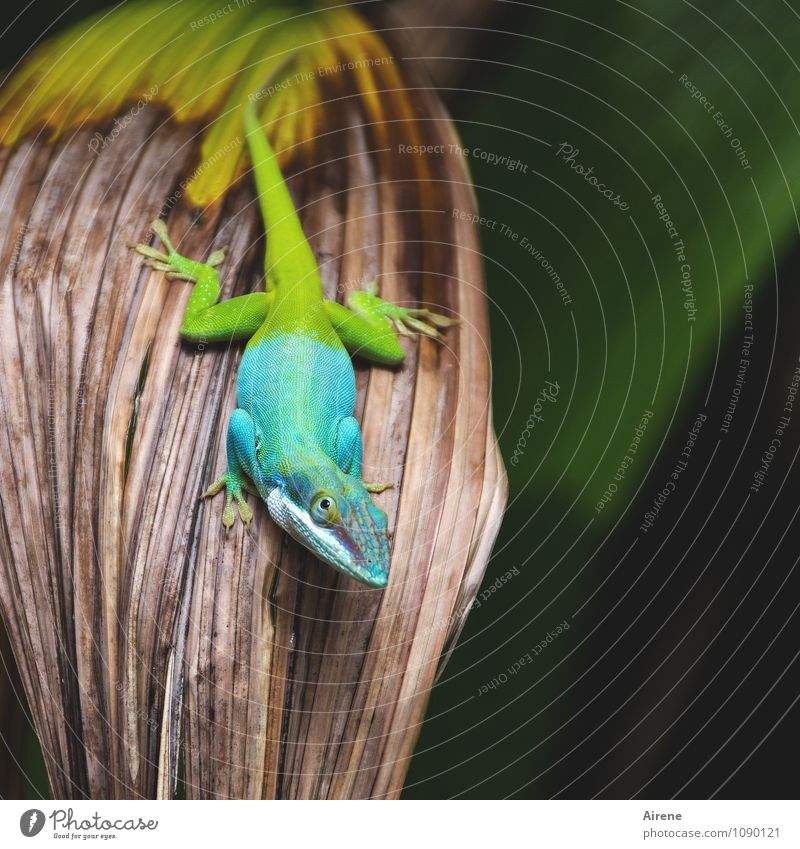 Can I go now? Animal Saurians Anolis Iguana Exotic Reptiles 1 Exceptional Curiosity Multicoloured Yellow Green Turquoise Colour Bilious green Gaudy