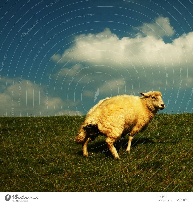 No. 5 Urinate Sheep Animal Livestock Wool Ball of wool Farm Yellow Green Meadow Clouds Individual Loneliness Horizon Dike Grass Baaa Yellowness Farm animal