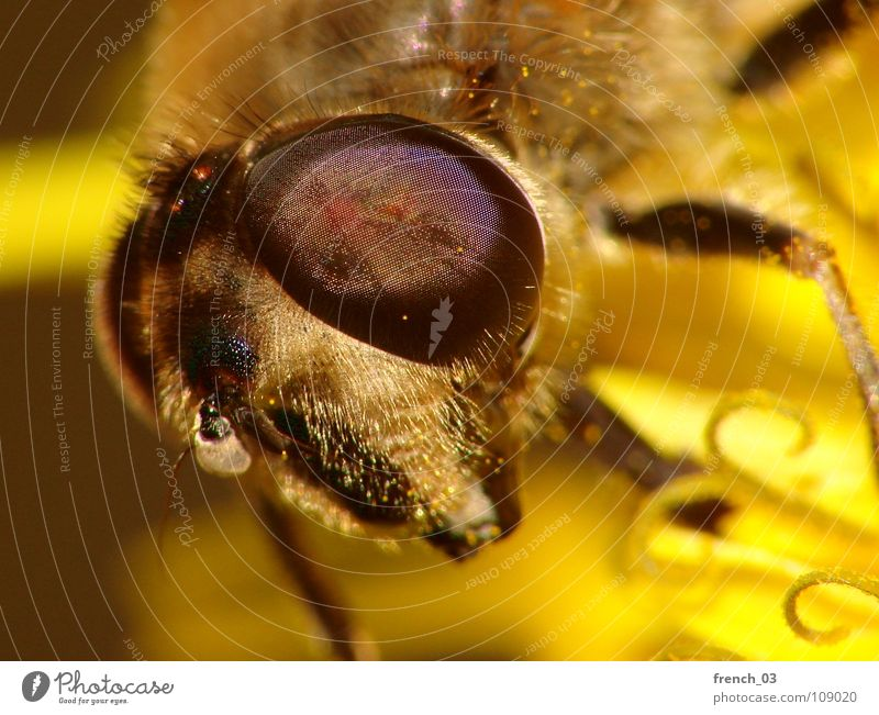 eye(s) of a stranger Animal Yellow Legs Fly Large Animal face Insect Near Disgust Monster Extraterrestrial being Stamen Suck Ogre Hover fly