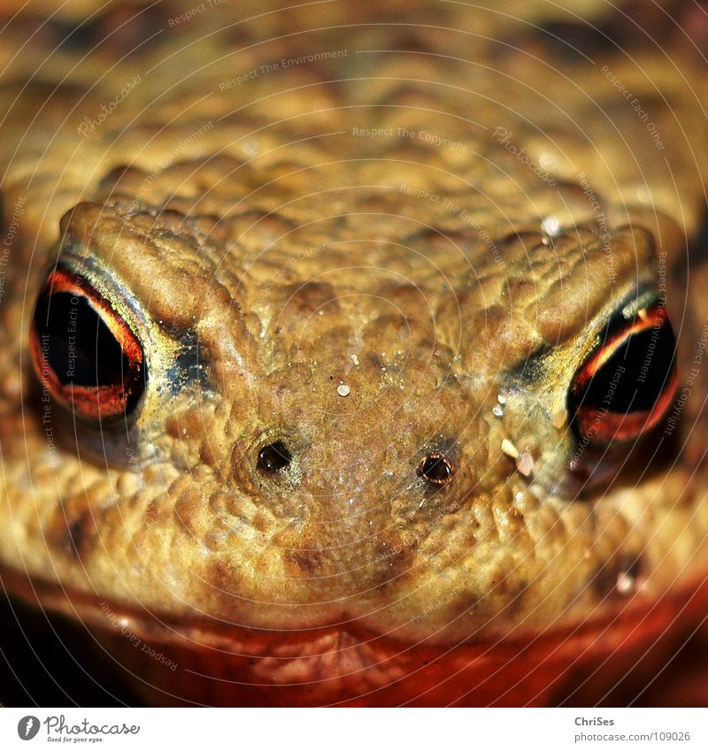 A firm eye catcher : Earth Toad (Bufo bufo) Common toad Amphibian Frogs Frontal Animal Disgust Hop Jump Allgäu Macro (Extreme close-up) Close-up Fear Panic
