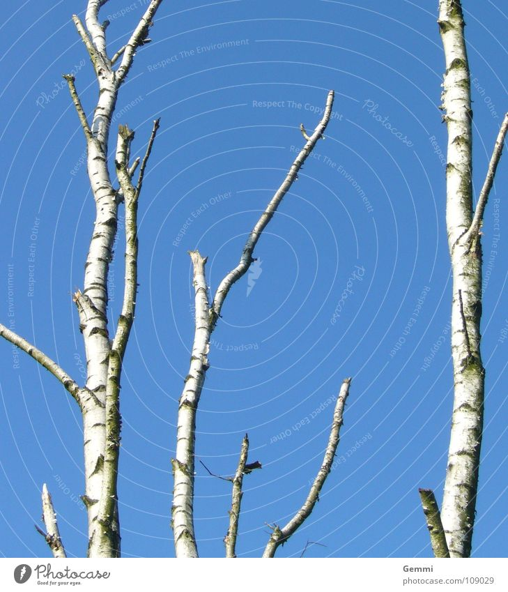 birch sky White Tree Cold Demanding Clump of trees Winter Autumn Tree bark Blue Sky Tree trunk