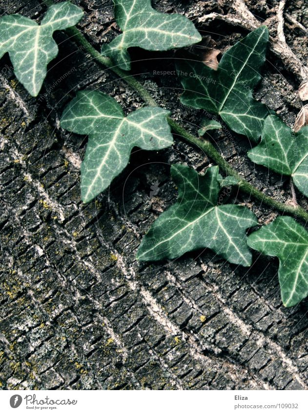 Nature Green Tree Plant Leaf Life Wood Pink Branch Fantastic Fairy tale Poison Tree bark Ivy Tendril