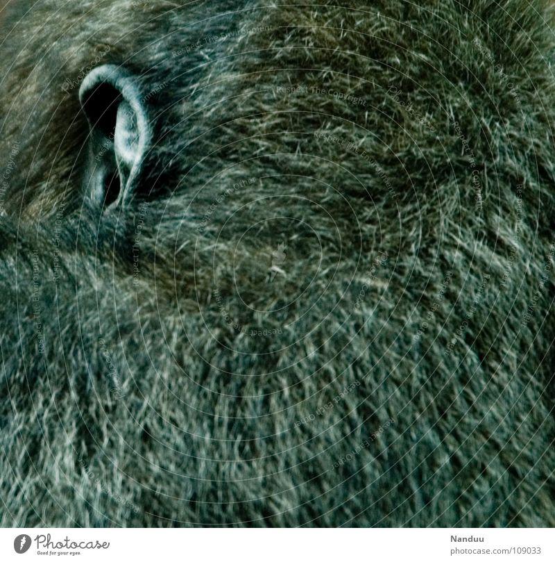 Listen carefully Senses Calm Animal Pelt Listening Communicate Monkeys Gorilla Apes Grayed Dignified Mammal overhear sb./sth. Sense of hearing Colour photo