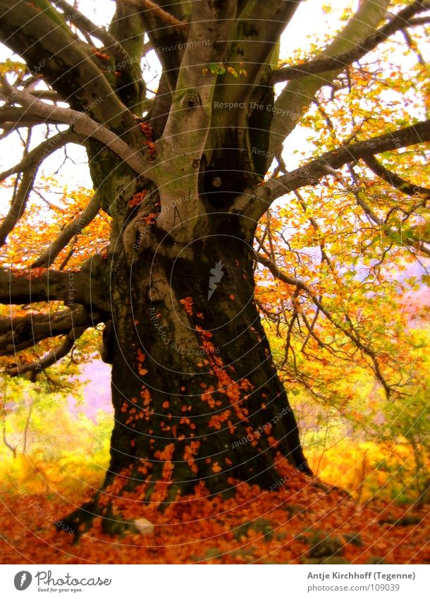 autumns Tree Beech tree Leaf Forest Multicoloured Gaudy Autumn Fairy Switzerland Beautiful Autumn wind Rustling Yellow Red Brown Cold Fog Colour Old Nature Elf