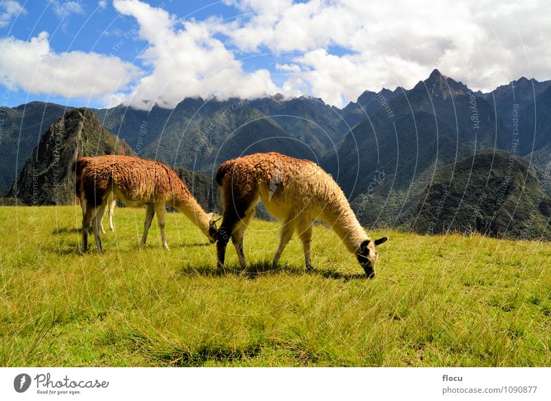 Pair of llamas in the Peruvian Andes mountains near Machu Picchu Sky Nature Vacation & Travel City Old Landscape Clouds Mountain Grass Lanes & trails Building