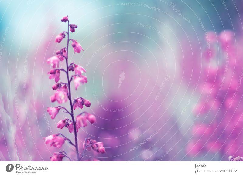 Nature Plant Beautiful Colour Summer Flower Love Blossom Spring Garden Moody Pink Park Elegant Esthetic Uniqueness