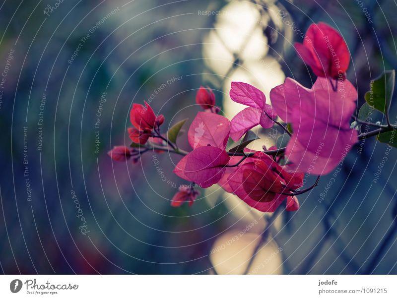 subtropical winter sun Nature Plant Joy Happy Enthusiasm Euphoria Optimism Purity Esthetic Loneliness Uniqueness Fence Bougainvillea Flower Blossom Violet Pink