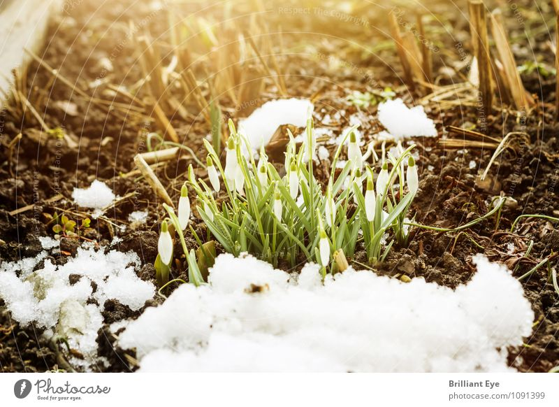 Snowdrops with a crease Winter Nature Plant Jump Flower Snowfall Spring Covered Sunlight Sunbeam Frost Garden onset of winter Dusk Freeze Close-up Colour photo