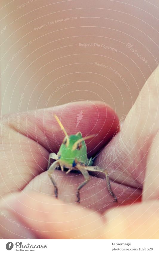 captive Environment Nature Park Meadow Field Catch Captured Locust Dryland grasshopper Green Hand Fingers Insect House cricket Palm of the hand Fist