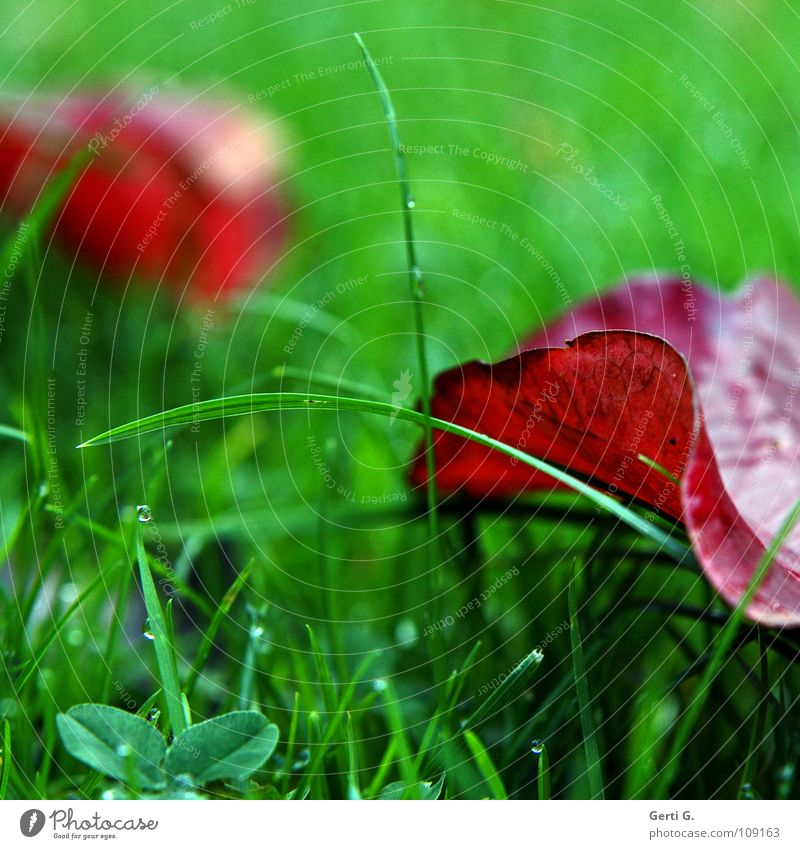 Green Red Leaf Cold Meadow Autumn Grass Rain Rope Wet Drops of water Fresh Lawn Transience Damp Dew