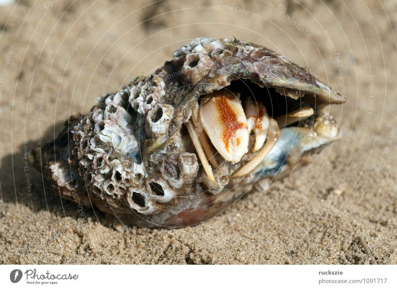 Hermit crab, pagurus, bernhardus, Beach Ocean Nature Sand Water North Sea Baltic Sea Animal Wild animal Mussel Authentic Safety (feeling of) decapodal cancer