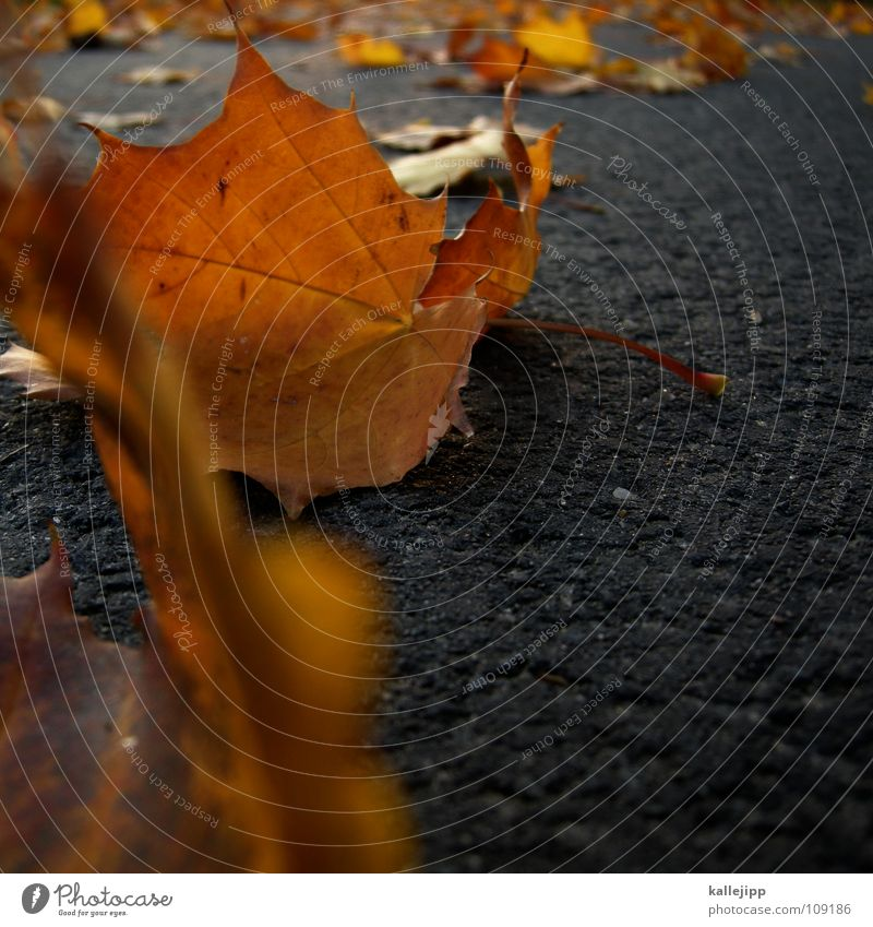 Tree Leaf Autumn Lanes & trails Gold Asphalt Canada Maple tree