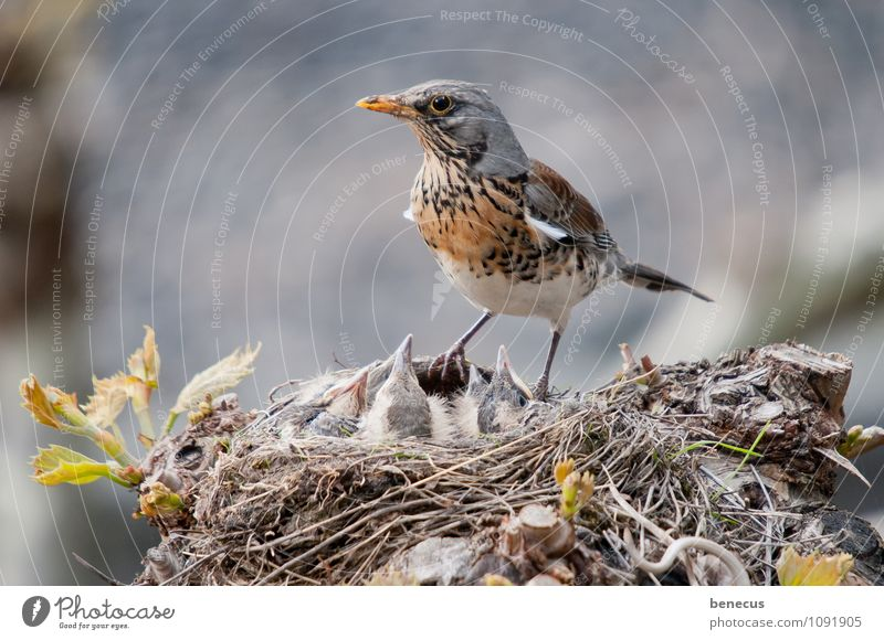 always in (up)view Nature Spring Manmade structures Animal Wild animal Bird Turdus Pilaris Group of animals Baby animal Animal family Nest-building