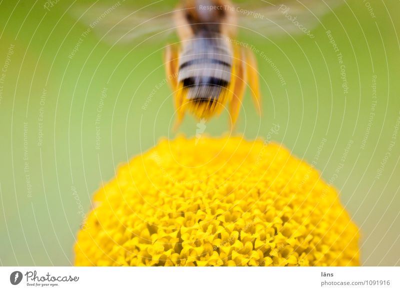 vertical take-off plane Environment Nature Plant Blossom Wild plant Fly Bee 1 Animal Blossoming Flying Exceptional Natural Speed Beginning Resolve Ease Insect